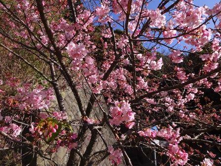 弥陀トンネルの桜①
