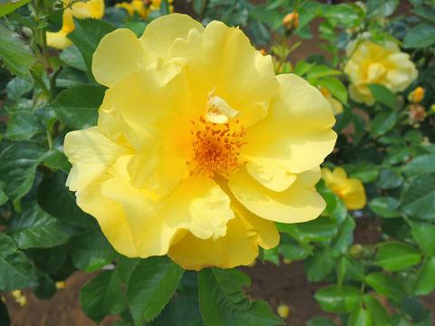 レモン フィズsDSCN3869