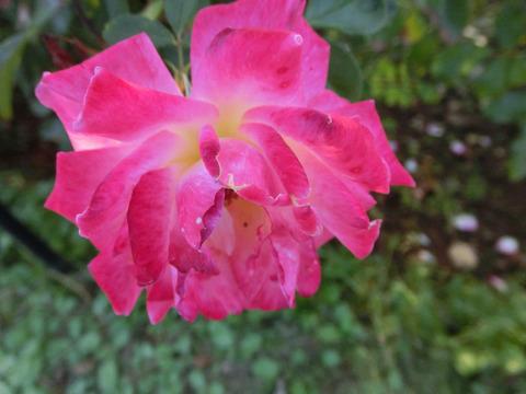 ピンク レディ ラッフルsCIMG8932