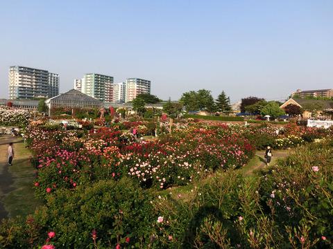 京成バラ園1284