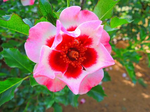ピンク トルマリン バビロンsDSCN5499