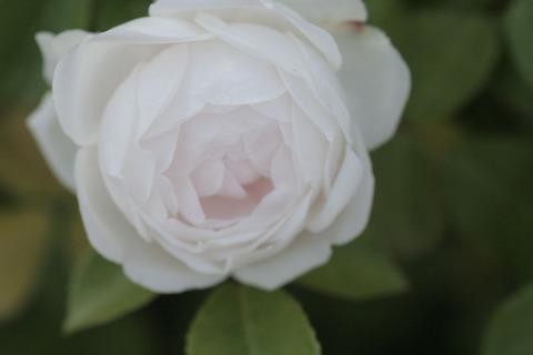 ふんしょうろう粉粧桜4276