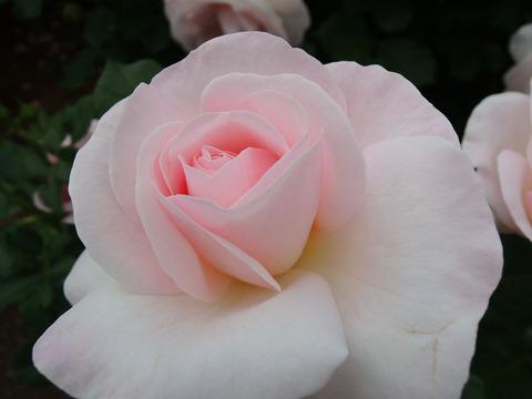 はなぼんぼり 花ぼんぼり0961