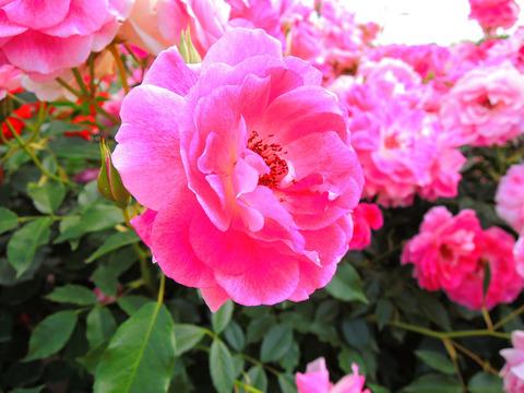 ブリリアント ピンク アイスバーグsDSCN5287