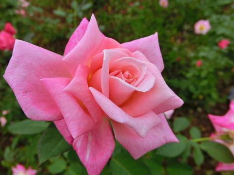 ピンク パルフェsCIMG4799