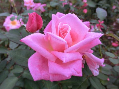 ピンク パルフェsCIMG4801