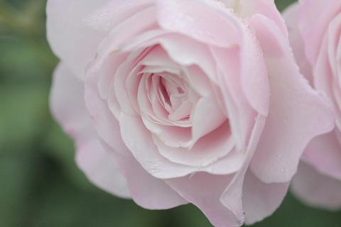 はなぼんぼり花ぼんぼり6169
