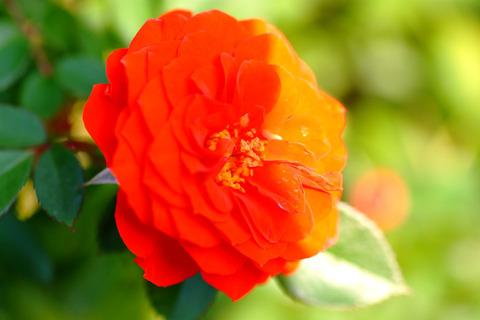 オレンジ メイアンディナ5095
