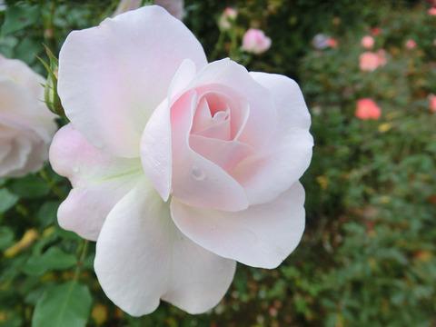 花ぼんぼり5335