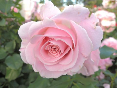 ピンク フレンチレース4114