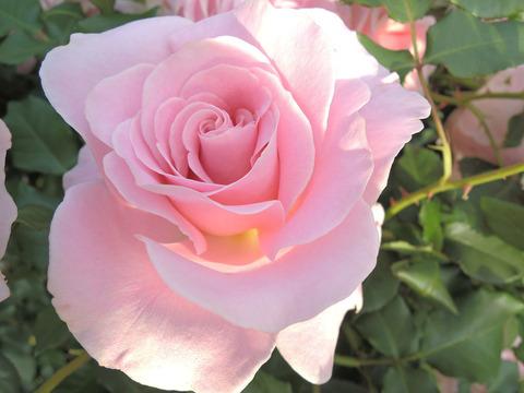 ピンク フレンチレース4147