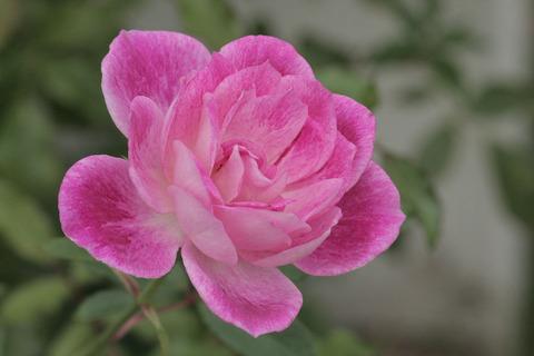 ブリリアント ピンク アイスバーグsIMG_4260