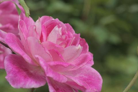 ブリリアント ピンク アイスバーグsIMG_4292