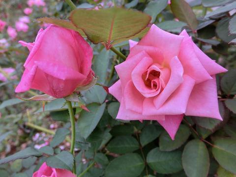 ピンク パルフェsCIMG4796