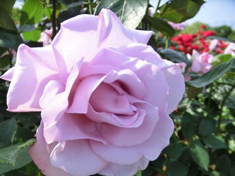 しこう 紫香0540
