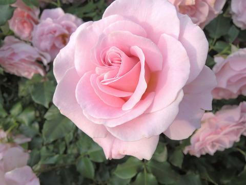 ピンク フレンチレース4105