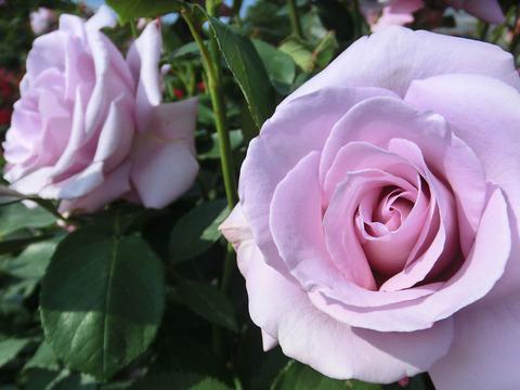 しこう 紫香0542