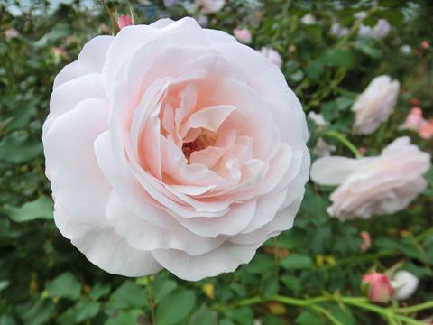 花ぼんぼり5334