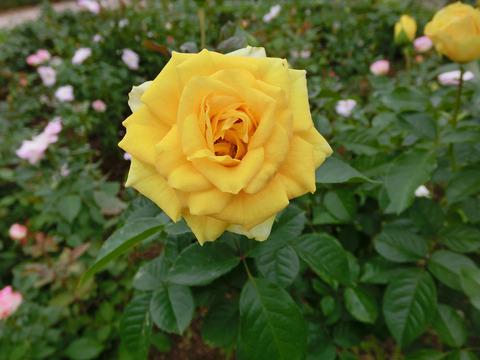 ゴールデン フラッシュsCIMG4643