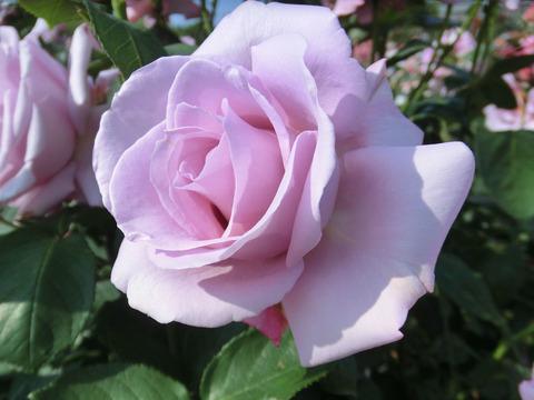 しこう 紫香0543