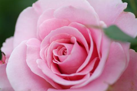 ピンク フレンチレース