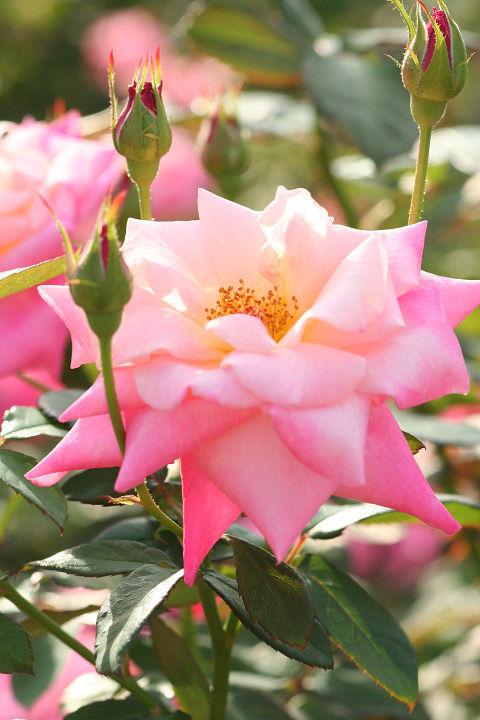 ピンク パルフェ_0458