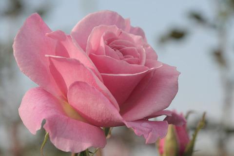 ピンク フレンチレースsIMG_5891