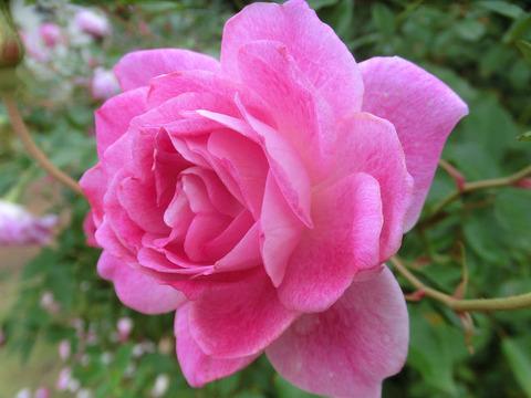ブリリアント ピンク アイスバーグ5089