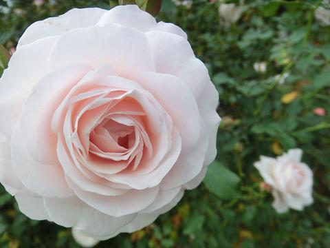 花ぼんぼり5333