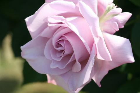 しこう 紫香 (2)