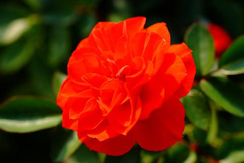 オレンジ メイアンディナ5245