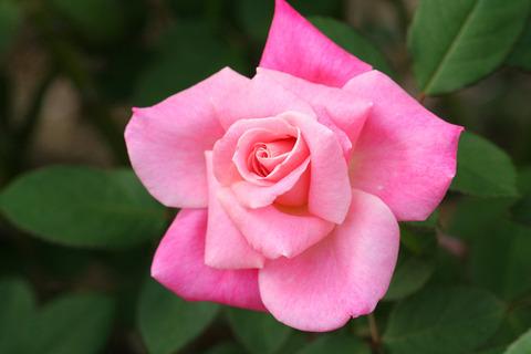 ピンク パルフェ_0489