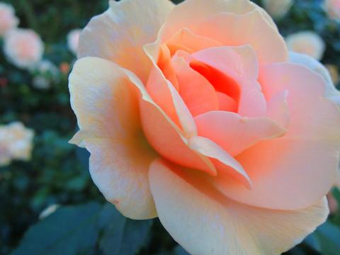 ガーデン オブ ローゼズsDSCN9565