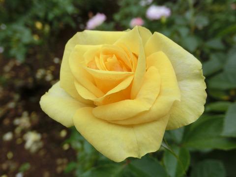 ゴールデン フラッシュsCIMG4652