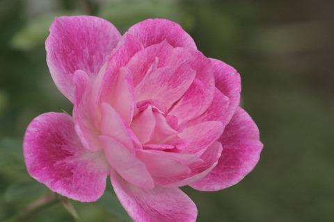 ブリリアント ピンク アイスバーグsIMG_4304
