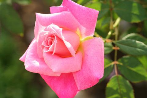 ピンク パルフェ_0470