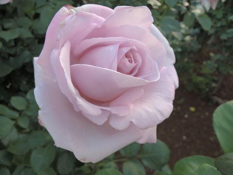 しこう 紫香4739
