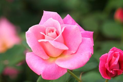ピンク パルフェ_0485