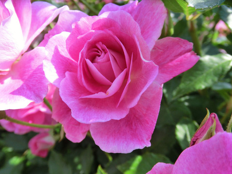 ブリリアント ピンク アイスバーグ0618