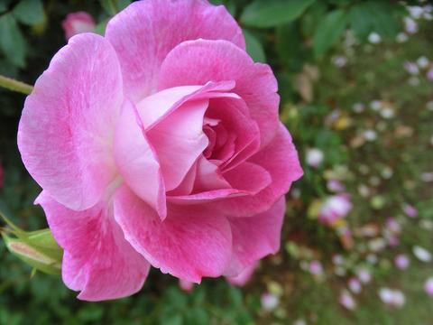 ブリリアント ピンク アイスバーグ5097