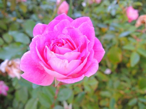 ブリリアント ピンク アイスバーグ5765