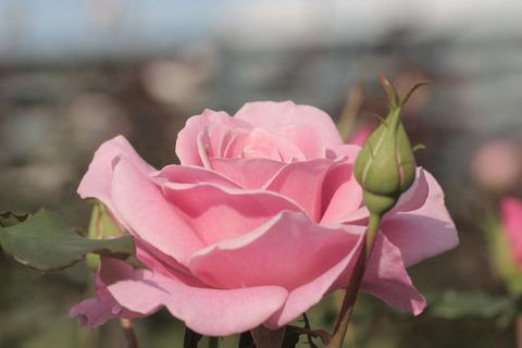 ピンク フレンチレースsIMG_5884