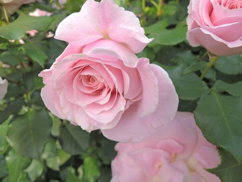 ピンク フレンチレース4133
