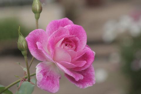 ブリリアント ピンク アイスバーグsIMG_4275