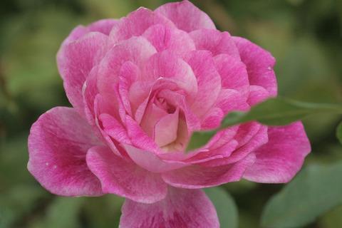 ブリリアント ピンク アイスバーグsIMG_4301