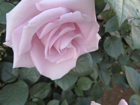 しこう 紫香4743