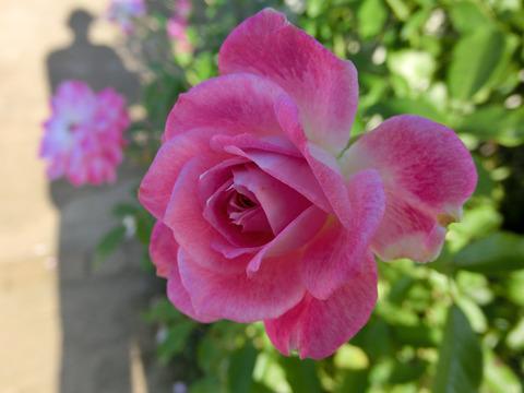 ブリリアント ピンク アイスバーグ6780
