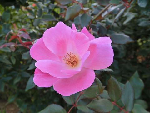 ピンク ノックアウト5215