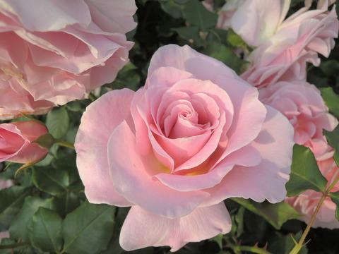 ピンク フレンチレース4121