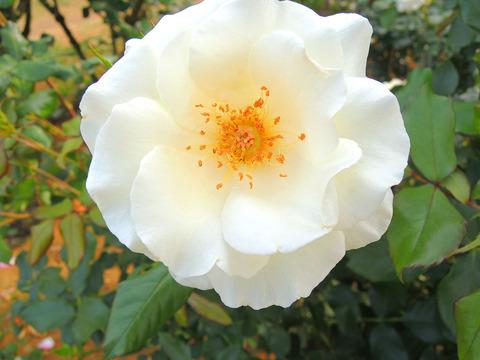 ホワイト マジックsDSCN6597
